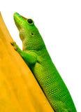 Phelsuma no bambu Imagens de Stock