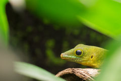 Phelsuma sundbergi, lizard Stock Photography