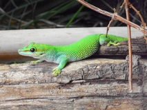 Phelsuma. Young green phelsuma on branch Royalty Free Stock Image