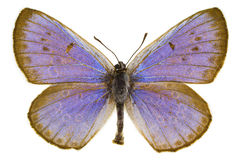 Phengaris arion (Large blue). Dorsal view of Phengaris arion (Large Blue) butterfly isolated on white background royalty free stock photo