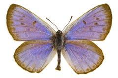 Phengaris arion (Large blue) Royalty Free Stock Photo