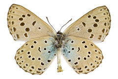Phengaris arion (Large blue) Stock Image