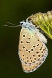 Phengaris ( Maculinea ) alcon close-up /. Phengaris ( Maculinea ) alcon macro photography / alcon blue butterfly royalty free stock photos