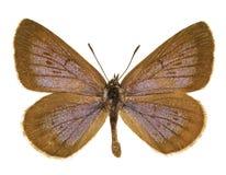 Phengaris nausithous. Dorsal view of Phengaris nausithous (Dusky Large Blue) butterfly isolated on white background stock photography
