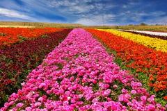 Phenomenally beautiful flower fields Stock Photography