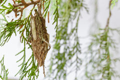 Phereoeca uterella is a worm and has encapsulate. Phereoeca uterella is a worm and has encapsulate for camouflage on the tree Stock Photo