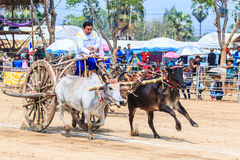 PHETCHABURI - FEBRUARY 22 : 143rd Cow Racing Festival Royalty Free Stock Photography