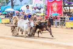 PHETCHABURI - FEBRUARY 22 : 143rd Cow Racing Festival Stock Photography