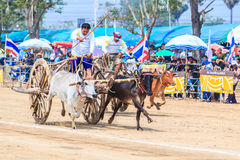 PHETCHABURI - FEBRUARY 22 : 143rd Cow Racing Festival Stock Photo