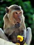 Phetchaburi, Thailand: Affe, der Mango isst Lizenzfreies Stockbild