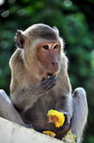 Phetchaburi, Thailand: Monkey Eating Fruit. Monkey eating fruit sitting on a wall in the visitor center gardens at the1859 Royal Palace - Lee Snider Photo Stock Image