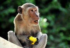 Phetchaburi, Thailand: Monkey Eating Mango Stock Photo