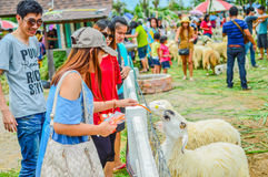 PHETCHBURI, THAILAND- JULY 21: Unidentified groups of men and women are feeding the sheep on July 21, 2013 in Swiss Sheep Farm, P stock photo