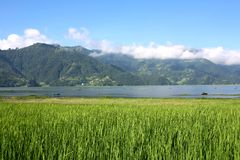 Phewa Lake with rice field  Pokhara Stock Images