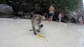 PHI PHI - LA THAÏLANDE 2015 : Singe mangeant une banane sur la plage banque de vidéos
