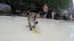 PHI PHI - TAJLANDIA 2015: Małpi łasowanie banan na plaży zbiory