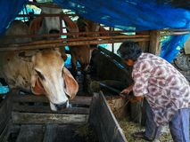 PHICHIT, THAILAND OCTOBER 25 : A farm worker cleaning the Cows f stock photography