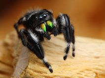 Phiddipus Audax jumping spider Royalty Free Stock Photo