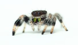 Phidippus国王跳跃的蜘蛛 库存图片