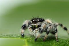 Phidippus国王跳跃的蜘蛛 免版税库存照片