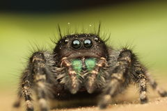 Phidippus audax Jumping Spider Royalty Free Stock Images