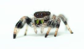 Phidippus Regius Jumping Spider Stock Image