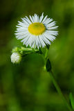 Philadelphia Fleabane Royalty Free Stock Photography