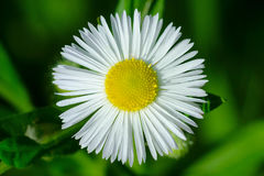 Philadelphia Fleabane Royalty Free Stock Images