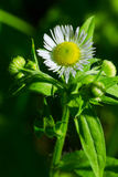 Philadelphia Fleabane Royalty Free Stock Photos