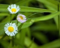 Philadelphia Fleabane (Erigeron philadelphicus) Stock Photo