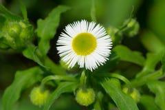 Philadelphia Fleabane - Erigeron philadelphicus. Close up of a Philadelphia Fleabane flower. Also known as Daisy Fleabane. Taylor Creek Park, Toronto, Ontario Stock Image