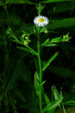 Philadelphia Fleabane Stock Photo
