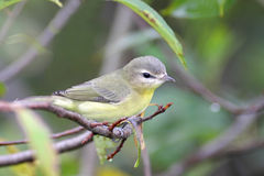 Philadelphia Vireo Royalty Free Stock Image