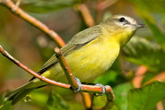 Philadelphia Vireo Stock Images