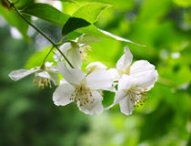 Philadelphus Stockbild