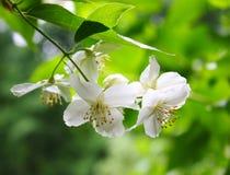 Philadelphus. Branch of a blossoming philadelphus (jasmin) on a background of fresh greens Stock Image