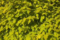Philadelphus aurea background leaves Stock Photo