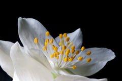 Philadelphus blomma Royaltyfri Foto