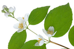 Philadelphus blossom Royalty Free Stock Image