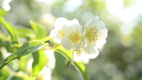Philadelphus blossom. Mock orange with flowers in sunshine. Philadelphus blossom. Closeup of blooming fresh mock orange shrub with white and yellow flowers on stock video
