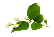Philadelphus buds and leaves. Isolated on white Stock Image