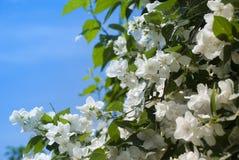 Philadelphus. Bush in a full bloom Stock Photography