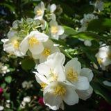 Philadelphus coronarius flowers Stock Photography