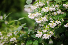 Philadelphus coronarius flowers close up with water drops Stock Images
