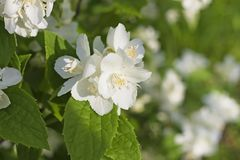 Fragrant white flowers of sweet mock-orange Philadelphus corona. Philadelphus coronarius sweet mock-orange, English dogwood is a species of flowering plant in Royalty Free Stock Images
