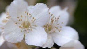 Philadelphus coronarng. White jasmine flowers sway in the wind. Beautiful flower close up stock video