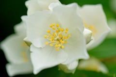 Philadelphus flower from above Stock Photography