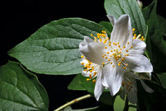Philadelphus flowers Stock Photos