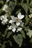 Philadelphus. Flowers,also known as Mock orange with its leaves behind Stock Photos