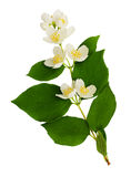Philadelphus flowers and leaves. Isolated on white Stock Image